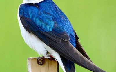 Wet weather has dire effect on mountain bluebirds and tree swallows
